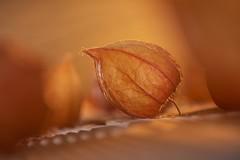 Orange (Martin Bärtges) Tags: farbenfroh colorful herbstfarben herbst autumn mist fog studiophotography studio makr makro macrophotography macro nikonphotography nikonfotografie d750 nikon orange physalis lampionblume lampion flowers
