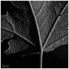 Fallen (PhilR1000) Tags: macromondays macro leaf decay old fallen centresquarebw bw monochrome blackwhite