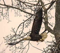 Leaving the nest.... (Kevin Povenz Thanks for all the views and comments) Tags: 2018 march kevinpovenz westmichigan michigan ottawa ottawacounty ottawacountyparks grandravinesnorth baldeagle early wildlife nature outside outdoors fly eagle flight tree canon7dmarkii sigma150500 wings