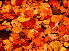 Autumn leaves on the lake (Ostseetroll) Tags: badsegeberg deu deutschland geo:lat=5394471025 geo:lon=1031435684 geotagged schleswigholstein segebergersee herbst laub see autumn leaves lake olympus em10markii