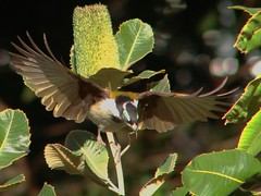 Taking Off (CharlesLam) Tags: kclama bird australia bluefacedhoneyeater entomyzoncyanotis