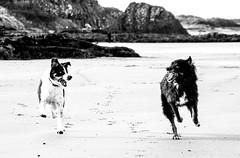 I'm going to win....xx (shona.2) Tags: gullane blackandwhite mono scotland arthur jack chasing playful racing sand beach freedom playing collie pets dogs