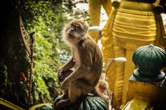 Monkey in the Temple (Fëras Jėrf) Tags: temple monkey batu cave malaysia
