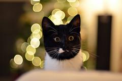 _DSC0788 (Raphistole) Tags: bokeh cat kitten chat chaton noir blanc eyes yeux jaunes d7000 flou arrière plan 50mm f14 nikkor nikon animal pet christmas noël