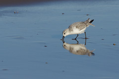 K32P0163c Sanderling, Titchwell Beach, November 2018 (bobchappell55) Tags: titchwell norfolk wild bird wildlife nature sanderling beach wader calidrisalba