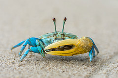 Beautiful blue crab with yellow claw (elmanther123) Tags: blue yellow brab animal claws shell shellfish tropical beach biology food marine life wild wildlife alive aquatic sealife sandy raw seafood one isolated pincer nipper defend laert eye ecology outdoor summer