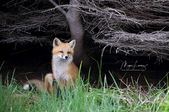 2018 Top Ten (Megan Lorenz) Tags: redfox fox foxkit kit babyanimals animal mammal vulpesvulpes nature wildlife wild wildanimals newfoundland canada mlorenz meganlorenz