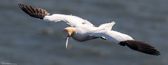 Gannet On The Wing (Steve (Hooky) Waddingham) Tags: stevenwaddinghamphotography animal coast bird british nature sea flight wild wildlife