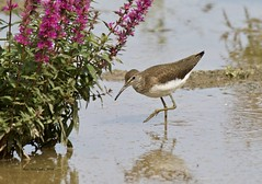 Green Sandpiper (Alan McCluskie) Tags: greensandpiper tringaochrapus waders waterbirds shorebirds wetlandbird wwtslimbridge slimbridge nature wildlife birds canon7dmk2 sigma150600mmsp