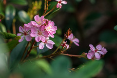 Pretty Pink Flowers (John Brighenti) Tags: sony alpha sonyshooter a7rii ilce7rm2 sel70200gm nature flowers plants petals color pretty bokeh garden conservatory arboretum greenhouse pink green brooksidegardens wheaton maryland md