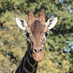 Giraffe (MJ Harbey) Tags: giraffe animal mammal tree giraffa animalia giraffidae artiodactyla zsl zoo whipsnade zslwhipsande whipsandezoo zslwhipsandezoo bedfordshire nikon d3300 nikond3300