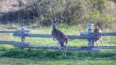Deerly departed (Gunn Shots (On and off these days)) Tags: deer blacktaileddeer fence muledeer blacktailedmuledeer jump