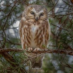 """Owlgasim"" (Kevin E Fox) Tags: sawwhetowl owl birdofprey raptor bird birding birdwatching birds sigma150600sport sigma nature nikond500 nikon tree woods owlgasim"