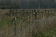 Short Eared Owl-2681 (WendyCoops224) Tags: 100400mml 80d fens winterwatch canon eos ©wendycooper short eared owl asio flammeus kestrel