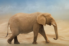 African elephant (Sandyp.com) Tags: elephant africanelephant loxodontaafricana sonyrx10iv texturedbackground wildlife safari oaklandzoo