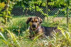 Hera (Andi Fritzsch) Tags: hera dog dogs doglovers animal animallovers nature naturephotography animalphotography coth5