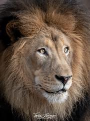 Izu the Magnificent (ToddLahman) Tags: izu izuthemagnificent africanlion lion mammal male portrait beautiful outdoors photooftheday profileheadshot profile photography photographer nikond500 nikonphotography nikon sandiegozoosafaripark safaripark lions lioncamp