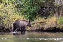 A Quiet Place (gecko47) Tags: animal mammal bear sow female grizzlybear americanbrownbear ursusarctos riverbank woods water river chilkoriver britishcolumbia cariboochilcotin peaceful scenic quietplace