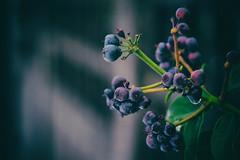 petits fruits d'hiver (Chocolatine photos) Tags: boules violet nature photo photographesamateursdumonde pdc hiver vert makemesmile nikon nikoneurope naturebynikon