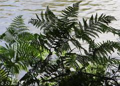 Fougères (Jean-Daniel David) Tags: nature eau closeup grosplan feuille fougère vert verdure rivière plante suisse suisseromande vaud fiez
