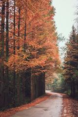 Autumn road in rainy day (Picocoon图茧) Tags: autumn road nature tree rain rainy tranquility fall orange