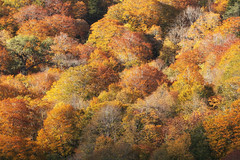 Orange Fall (jasohill) Tags: 2018 autumn october color tohoku nature nationalpark city quiet iwate red trees changes photography sliver light towada hachimantai life japan fall
