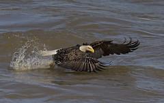 Gotcha...not!-0138 (jontuelawrel (Bernadette Marie)) Tags: eagle baldeagle nature wildlife conowingo
