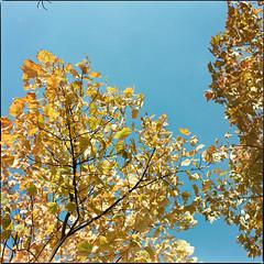 Autumn Intermission XII (__Daniele__) Tags: konica minolta 160 c41 expired 2003 analogue analog film autumn fall leaves colour color medium format mittelformat sredni hasselblad 80mm 500cm sqaure