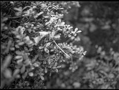 shrubbery, detail, interior, yard, Asheville, North Carolina, Mamiya 645 Pro, mamiya sekor 45mm f-2.8, 11.2.18 (steve aimone) Tags: shrub shrubbery detail interior yard asheville northcarolina mamiya645pro mamiyasekkor45mmf28 mamiyaprime primelens 6x45 120 120film film mediumformat monochrome monochromatic blackandwhite