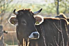 Schönheit auf der Weide (Uli He - Fotofee) Tags: ulrike ulrikehe uli ulihe ulrikehergert hergert nikon nikond90 fotofee morgenspaziergang oberstoppel unterstoppel stoppel windrad windräder pferd kuh weide fotograf