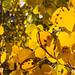 autumn aspen in the eastern sierra