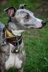 180426 Bluebells-0137 (whitbywoof) Tags: rupert lurcher whippet staffie rescue pet dog