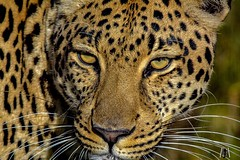 Leopard sees you. (SuzieAndJim) Tags: stare look bigcat plettenbergbay plettenbergbaysouthafrica southafrica wildlife sanctuary eyes leopard suzieandjim