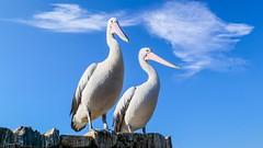 Pelicans - 6284 (ΨᗩSᗰIᘉᗴ HᗴᘉS +37 000 000 thx) Tags: pelican bird two duo pairidaiza hens yasmine namur belgium europa aaa namuroise photo friends be yasminehens interest eu fr lanamuroise