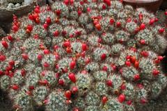 Mammillaria prolifera subsp. texana (Engelm.) D.R. Hunt - Latvia University Botanical Gardens - Riga-02 (Ruud de Block) Tags: ruuddeblock latviauniversitybotanicalgardensriga mammillariaproliferasubsptexana mammillaria prolifera texana cactaceae