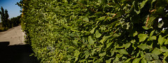 Leaves (MAKER Photography) Tags: canon eos 7d munich germany dslr leaves leaf green fence