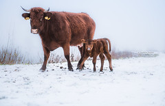 Merry Christmas!! (Ingeborg Ruyken) Tags: shertogenbosch autumn mist koeien fall flickr snow ochtend 500pxs empel rodegeuzen cows herfst empelsedijk sneeuw natuurfotografie morning koornwaard instagram fog