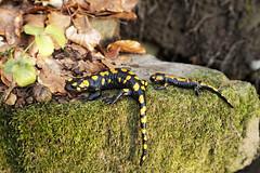 IMG_9737 (Selena & Danny) Tags: rodik roditti slovenia slovenija bosco foglie tree salamandra anfibio