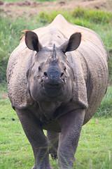 Panzernashorn / Indian rhinoceros (Rhinoceros unicornis) (uwe125) Tags: säugetier wildlife nepal nationalpark chitwan indien rhino panzernashorn animal tiere