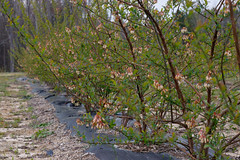 A row of blueberry plants is pictured at HEMI Blueberry Farm. Buitrago owns and operates the farm in his free time.
