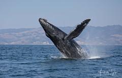 2955 - humpback breach (Ashala Tylor Images) Tags: whale sanluisobispo water avila avilabeach breach