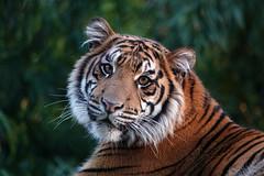 Rakan (greekgal.esm) Tags: sumatrantiger tiger bigcat cat feline animal mammal carnivore rakan sandiegozoosafaripark safaripark escondido sony rx10m4 rx10iv