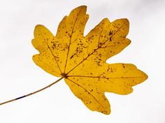 100x.94 - A leaf against the sky. (AmyGStubbs) Tags: 100xthe2018edition 100x2018 17nov18 2018 day321365 e30 garden leaf olympus sigma105mmf28exdgmacrofourthirds