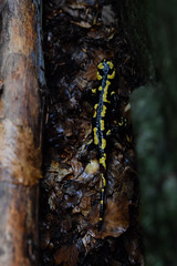 Salamandra (Hachimaki123) Tags: animal amphibian anfibio salamandra salamander salamandrasalamandra