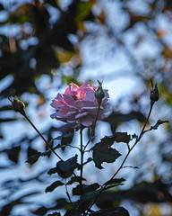 2018 Autumn rose (shinichiro*) Tags: 20181102sdim6775 2018 crazyshin sigmasdquattroh sdqh sigma1770mmf284dcmacrohsm november autumn yokohama 横浜イングリッシュガーデン rose flower macro 45179707064 4342249 201901gettyuploadesp