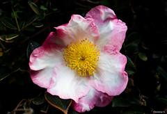 pink and white sasanqua (Christine_S.) Tags: flower canon pink eos nature garden m5 mirrorless macro m28mmf35 japan 山茶花 raindrop