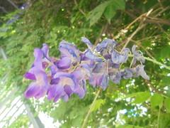 421 (en-ri) Tags: glicine lilla cespuglio sony sonysti foglie leaves