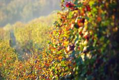 Filari 1 Langhe 18 (zanf89) Tags: langhe piemonte colline vino barolo nocciole tartufo neive alba