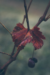 A little bit of color (Inka56) Tags: leaf vineyard plant bokeh hbw autumn oldlens cloudy rainyday autumncolors grapes onesingleleaf throughherlens