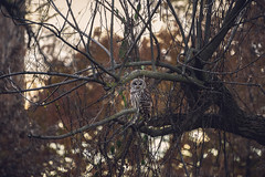 barred owl hunting in late afternoon (amy buxton) Tags: amybuxton natural nature stlouis animals birds owl barredowl autumn fall forestpark skinker landscape savanna prairie woods
